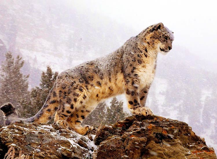 Snow-leopard-Trek