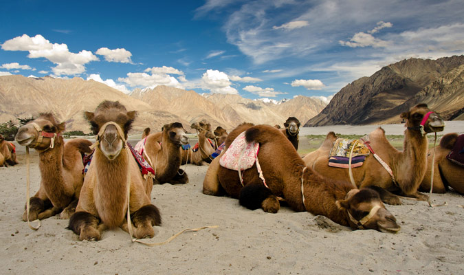 camels-in-ladakh